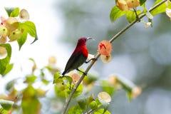 Karmozijnrode sunbird op Chinees-hut stock foto