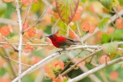 Karmozijnrode sunbird zoekt een voedsel op de bloem stock foto