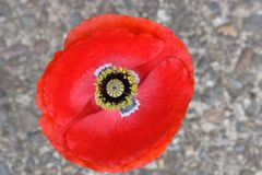 Karmozijnrood Rood Vlaanderen Mandala Peace Poppy 02 stock fotografie