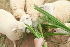 Karmy barani łasowanie z trawą zdjęcia stock