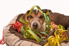 Karnawałowy Jack Russell pies zdjęcia royalty free