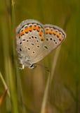 Karner-Blau-Schmetterling Stockfoto