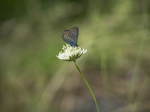 Karner Blauwe Vlinder Stock Foto's