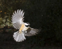 Karolina chickadee latanie (Poecile carolinensis) Obrazy Royalty Free