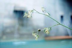 karonda Blume Lizenzfreies Stockfoto
