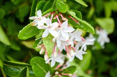 Karonda flower Stock Photo