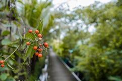 Karonda fruit Stock Photos