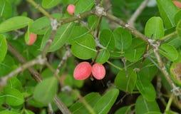 Karonda Fruit With Leaf on A Tree Stock Photo