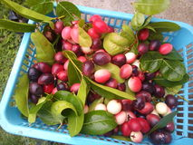 Karonda frukt Arkivbilder