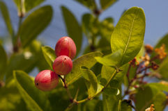 Karonda owoc Obrazy Stock