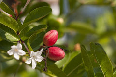 Karonda owoc Obraz Royalty Free