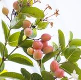 Karonda owoc Fotografia Stock
