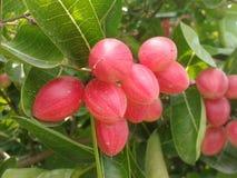 Karondafruit Royalty-vrije Stock Afbeelding