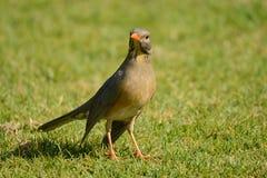 Karoo drozd patrzeje dla insektów na trawie Obrazy Royalty Free