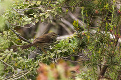 Karoo Prinia bird bush Stock Images