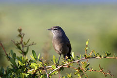 Karoo Scrub Robin. A Karoo Scrub Robin perched on a branch, Addo Elephant National Park Royalty Free Stock Photography