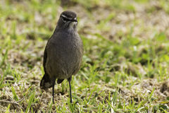 Karoo Scrub Robin Cercotrichas coryphaeus Royalty Free Stock Photo