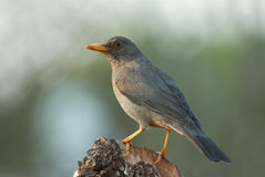 Karoo thrush. Adult breeding male stock images