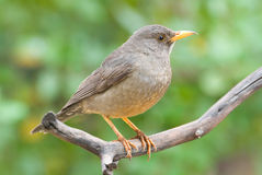Karoo thrush. Adult breeding male Royalty Free Stock Photo