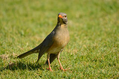 Karoo thrush on grass looking for insects Royalty Free Stock Images