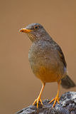 Karoo Thrush perched on rock Royalty Free Stock Photos