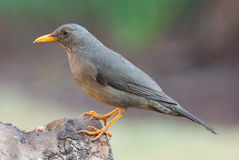 Karoo thrush turdus smithi. Karoo thrush adult male body profile Stock Photography