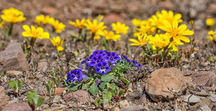 Karoo Violet wildflowers Royalty Free Stock Photography