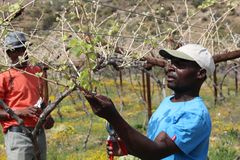 Karoo Wine Harvest. An African man cuts and trims the vines on a farm in the Karoo, South Africa Royalty Free Stock Image