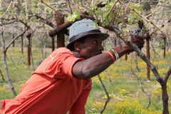 Karoo Wine Harvest. An African man cuts and trims the vines on a farm in the Karoo, South Africa royalty free stock images