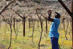 Karoo Wine Harvest. An African man worker farmer cuts and trims the vines on a farm in the Karoo, South Africa royalty free stock photos