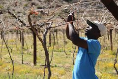 Karoo Wine Harvest. An African man worker farmer cuts and trims the vines on a farm in the Karoo, South Africa stock photos