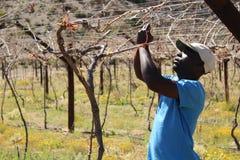 Karoo Wine Harvest Stock Photos