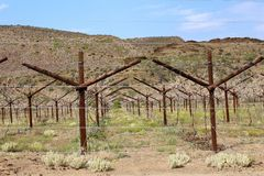 Karoo Wine Harvest. A bunch of wine vines on a farm in the Karoo, South Africa royalty free stock photos
