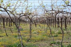 Karoo Wine Harvest. A bunch of wine vines on a farm in the Karoo, South Africa stock image