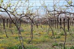 Karoo Wine Harvest Stock Image
