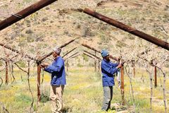 Karoo Wine Harvest. Two African men workers cut and trim the vines on a farm in the Karoo, South Africa stock image
