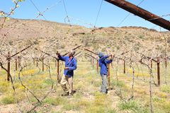 Karoo Wine Harvest. Two African men workers cut and trim the vines on a farm in the Karoo, South Africa stock images