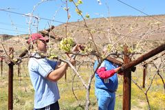Karoo Wine Harvest. Two African men workers farmers cut and trim the vines on a farm in the Karoo, South Africa royalty free stock photography