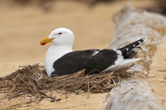 Karoro, the black-backed gull Stock Image