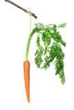 Karotte auf einem Steuerknüppel stockfotografie