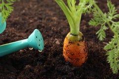 Karotte, die im Boden und in der Bewässerungsdose wächst lizenzfreie stockfotos