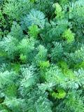 Karotte grünt Hintergrund auf dem Flecken Stockbild