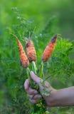 Karotten in der Hand Stockfoto