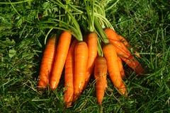Karotten in der Wiese Lizenzfreie Stockbilder