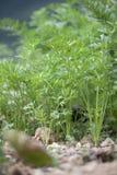 Karotten, die im Garten wachsen Stockfotos
