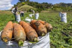 Karotten-Ernte lizenzfreie stockfotografie