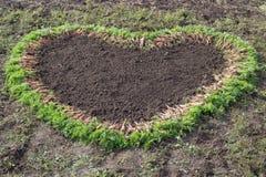 Karotten ernten auf dem Feld, Herbstkarotten werden zusammengebaut in Form eines Herzens lizenzfreies stockfoto