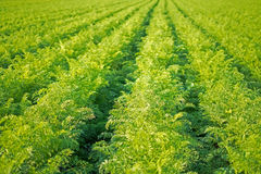 Karotten-Feld-Reihen Landwirtschaft von organischen Karotten Karotten auf dem Feld Lizenzfreie Stockfotos