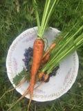 Karotten frisch ausgewählt Lizenzfreie Stockfotos
