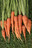 Karotten getrennt Lizenzfreie Stockfotografie